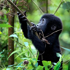 rwanda-baby-mountain-gorilla_1024x1024