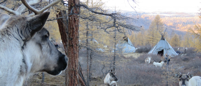 Tsataan reindeer herder Mongolia