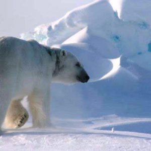 angie polar bear photoshop