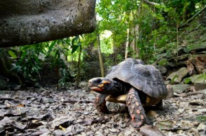 mount victory tortoise