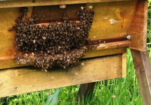 bees bearding at hive entrance